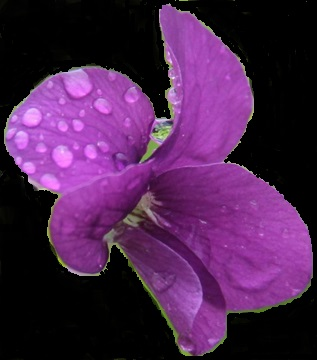 The Common Blue Violet is New Jersey's State Flower